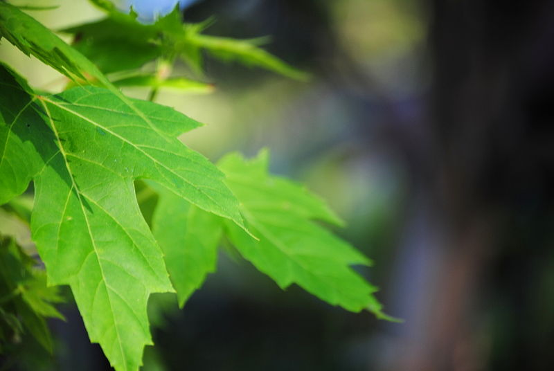 File:Green Leaves (from Flickr).jpg